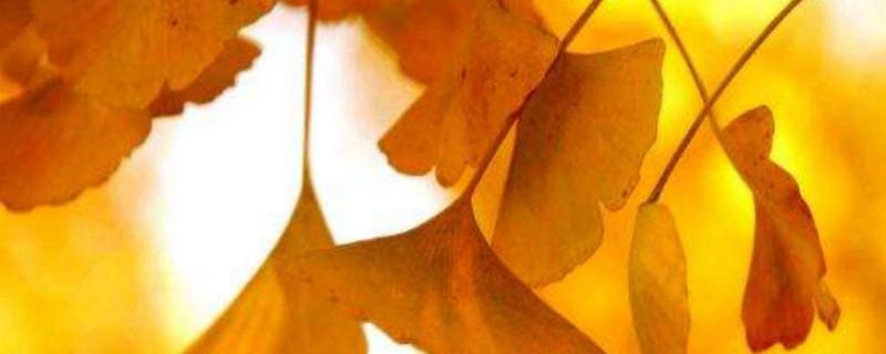 上海銀杏樹什么時候變黃