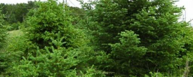 青海云杉的特点是什么