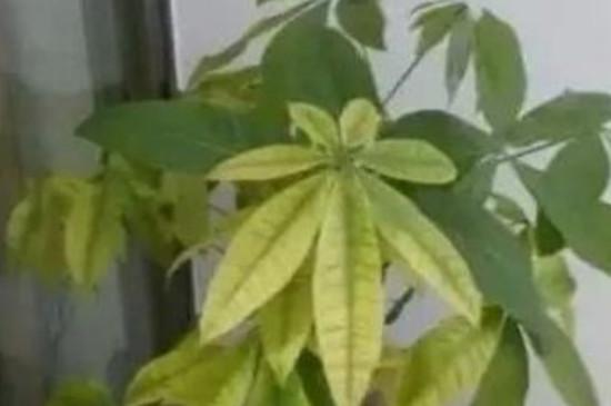 发财树叶子发黄怎么办有褐色斑点