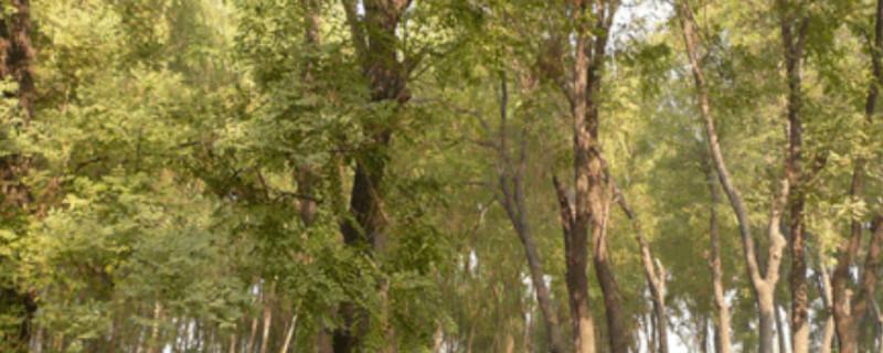 槐树与刺槐在形态上有何区别
