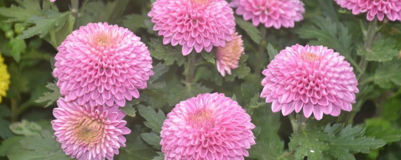 乒乓菊的花语和寓意是什么