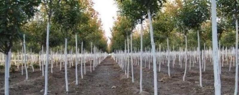 冬季树木为什么要涂白