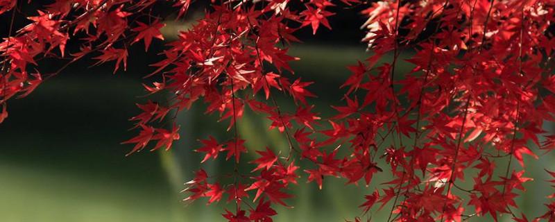 枫叶的形状和颜色特点