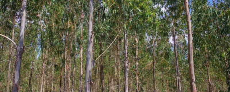 桉树种植密度多少合适