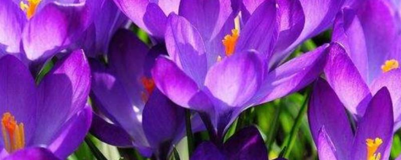 藏红花种植条件及环境