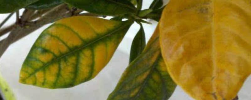 桅子花叶子发黄:叶子发黄的原因分析和处理方法