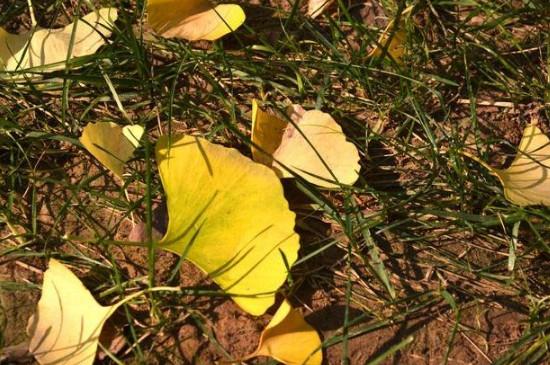 银杏叶为什么会变黄