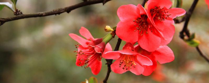 红梅花的养殖方法冬季咋养