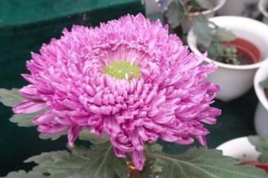凤凰羽植物有毒吗