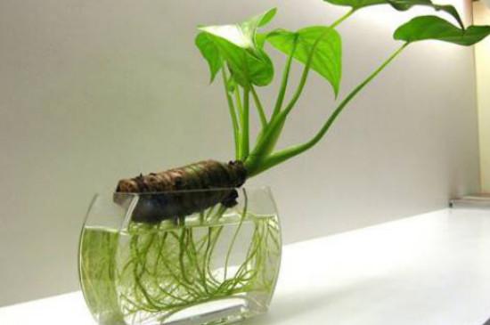 龟背竹和滴水观音哪个毒性大
