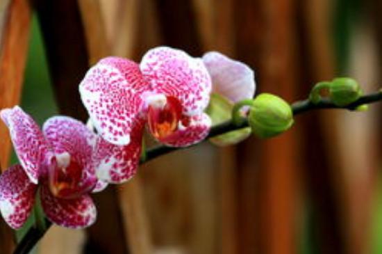 蝴蝶兰花语象征与寓意