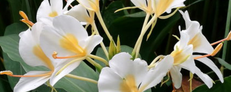 姜花的种植方法和注意事项