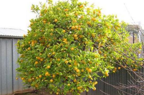 柠檬树最低几度会冻死