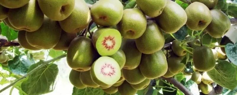 猕猴桃冬季修剪时应该在什么时间