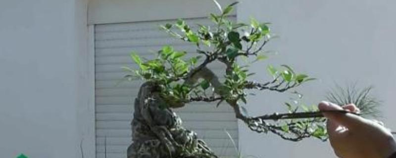 榕树怕冻吗?