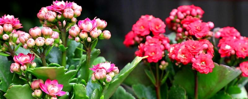 冬季长寿花的养殖方法和注意事项