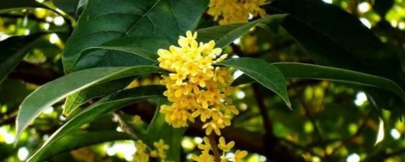 桂花树叶子发黄干枯后脱落怎么回事