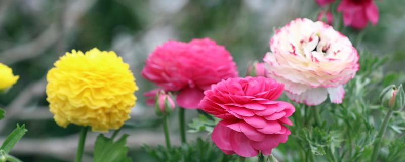 花毛茛种子是什么样子
