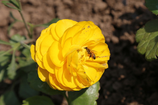 花毛茛什么时候种