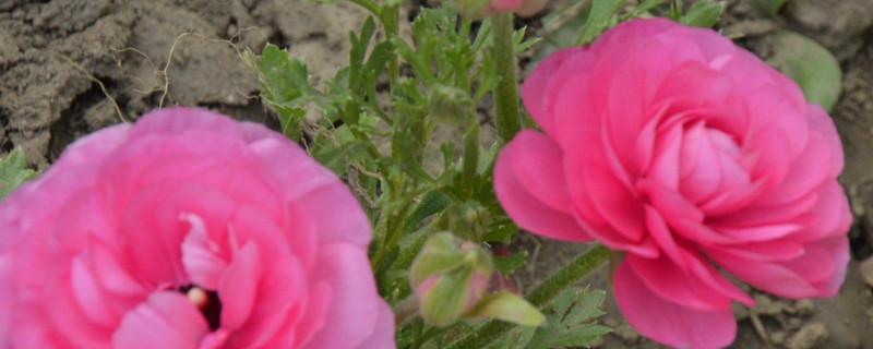 花毛茛花语