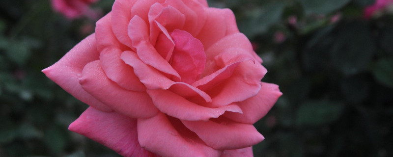 冬天種玫瑰花能活嗎