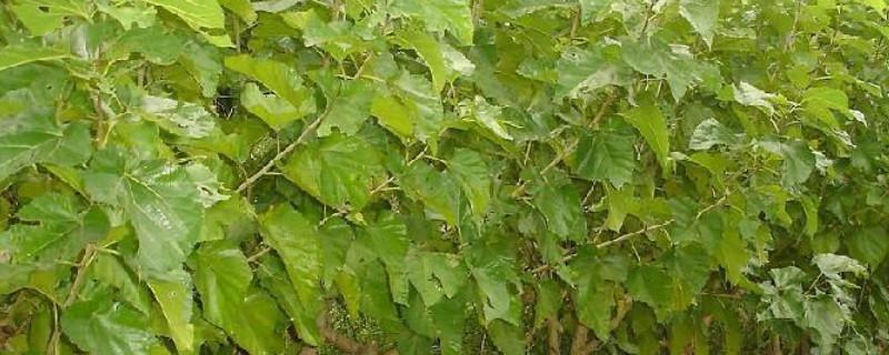 桑树的木材适合做什么