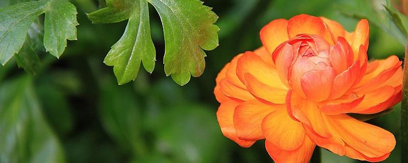 花毛莨花的养殖