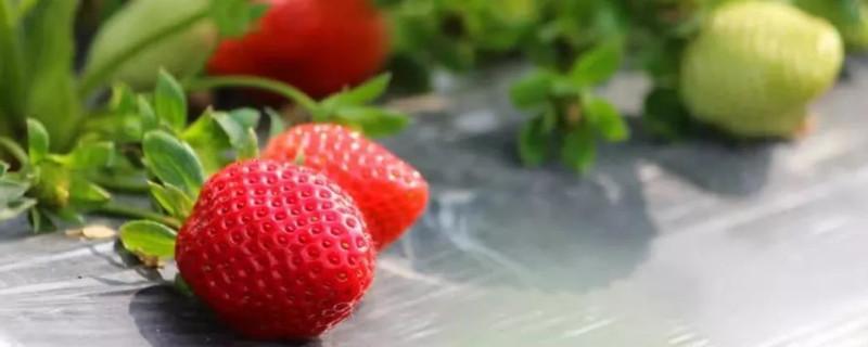 草莓授粉失败的特征