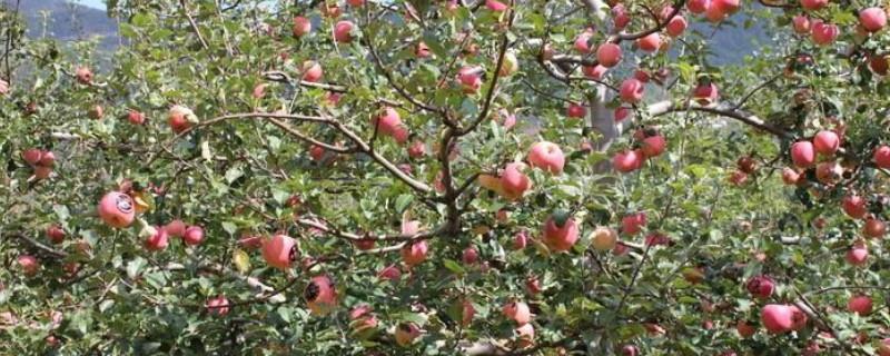 响富苹果苗品种介绍