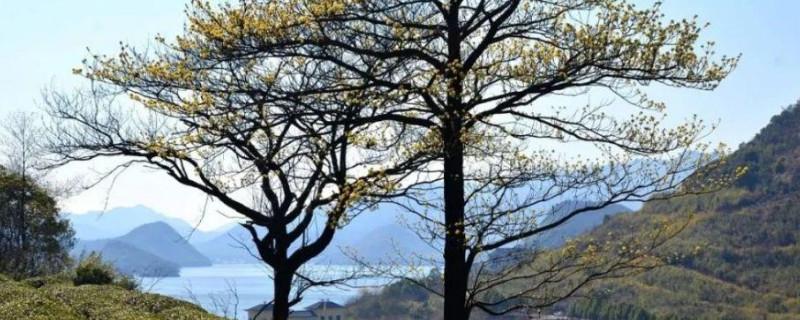 榉木是什么树