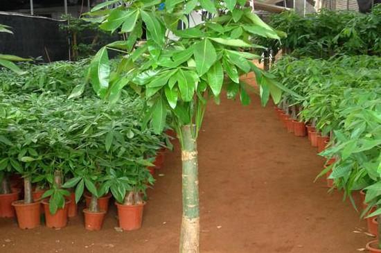 发财树的养殖方法和注意事项叶子发黄原因