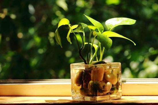 如何让绿萝叶子变油绿变大变肥
