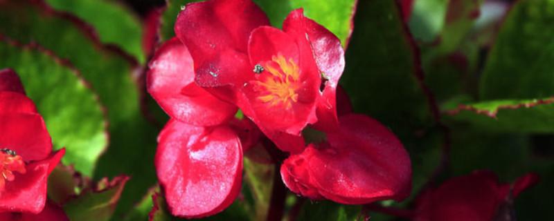 吊篮花卉品种