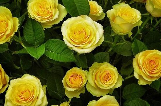 黄玫瑰花代表什么含义