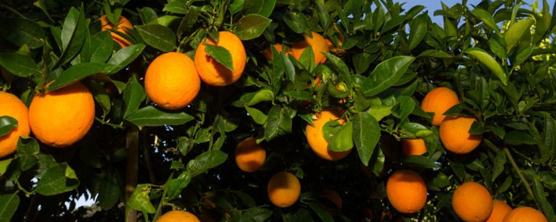 果树喷什么增加甜度