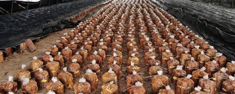 武汉穗邦农业解读桑黄室内如种植要注意哪些事项