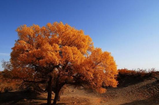 胡杨树的含义和象征意义