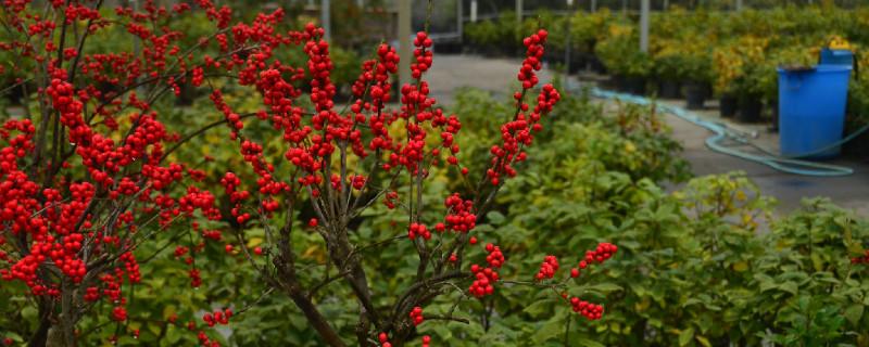 冬青鲜切花的养护方法