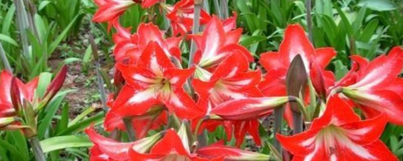 朱顶红的种植方法