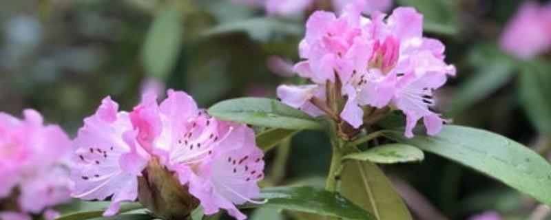隔夜茶叶水适合浇什么花