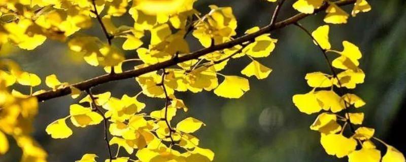 銀杏樹葉是怎么慢慢變黃的