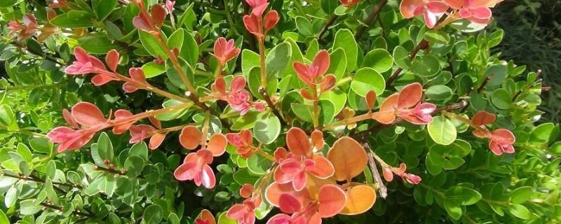 三叶红芽赤楠盆景的养殖方法