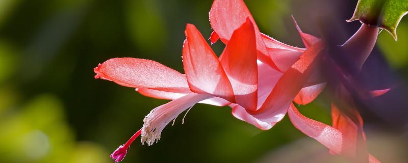 蟹爪莲打花苞怎么浇水施肥