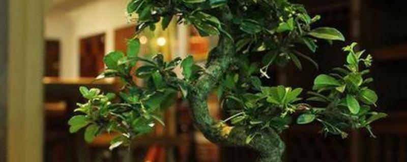 榕树的养殖方法和注意事项 盆栽