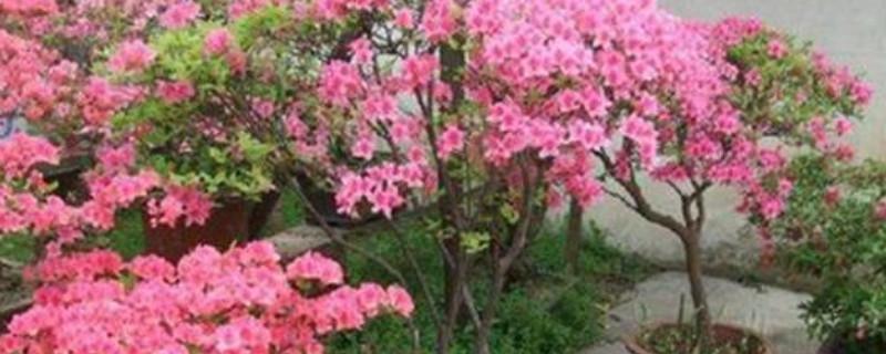 映山红盆景的养殖方法和注意事项