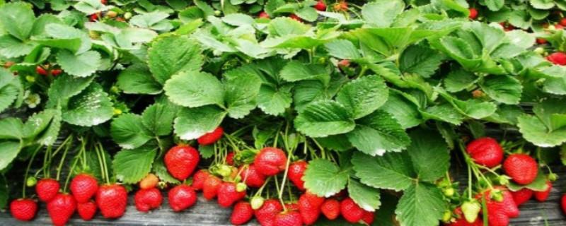 奶油草莓品种介绍