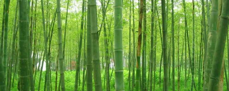 毛竹苗几年才能长成大毛竹