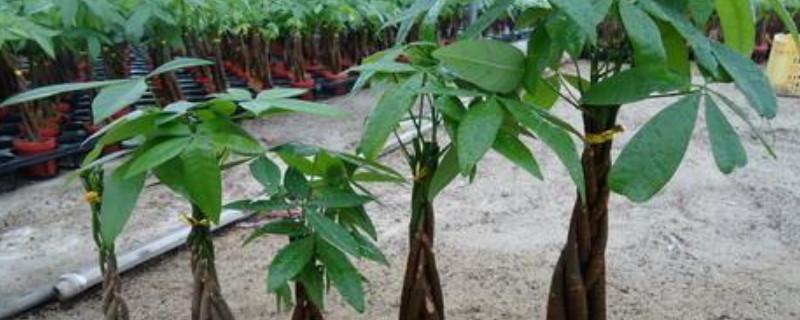 救活发财树的简单方法