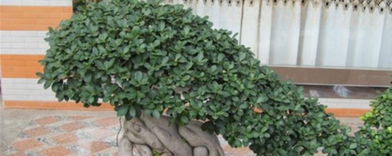 榕树盆景如何修剪造型
