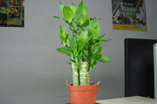 富贵竹叶子下垂怎么回事,如何补救?
